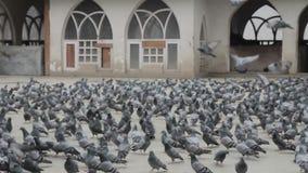 许多鸽子 股票录像