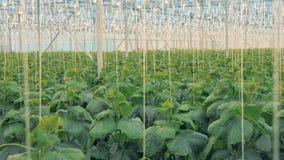 许多黄瓜植物 有许多黄瓜植物的大温室生长的 股票录像