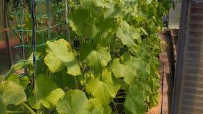 许多黄瓜自温室增长 股票视频