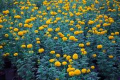 许多黄色万寿菊在黑塑料罐被种植了 库存照片