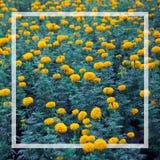 许多黄色万寿菊在黑塑料罐被种植了 免版税库存照片