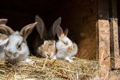 许多年轻甜兔宝宝在棚子 一个小组在脱粒场的小五颜六色的兔子家庭饲料 复活节标志 免版税库存照片