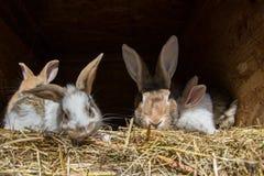 许多年轻甜兔宝宝在棚子 一个小组在脱粒场的小五颜六色的兔子家庭饲料 复活节标志 图库摄影