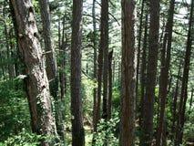 许多绿色树在森林里 库存照片
