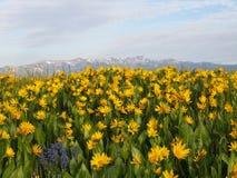 许多黄色花的明亮的领域在山前面的 库存照片