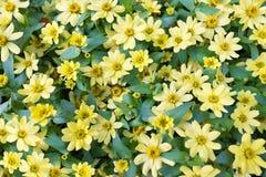 许多黄色雏菊 免版税库存图片