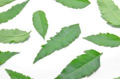 许多绿色neem叶子在地板上传播了 免版税库存照片