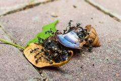 许多黑蚂蚁一起吃着蜗牛 免版税库存图片