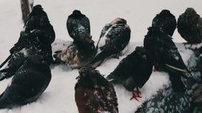 许多冻鸽子坐一个多雪的垃圾箱子 股票视频