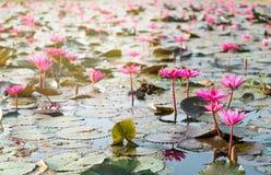 许多waterlily红色在有早晨太阳光反射的一个池塘 库存照片