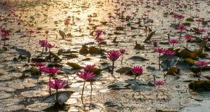 许多waterlily红色在有早晨太阳光反射的一个池塘 库存图片