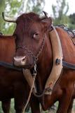 设备黄牛 库存图片