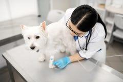 设定滴水的白狗身分安静一会儿狩医 库存图片