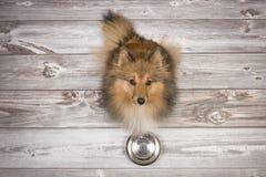 设德蓝群岛牧羊犬被看见从和查寻坐与一个空的哺养的碗的一个棕色木板条地板上在前面 免版税库存图片