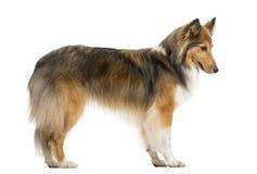 设德蓝群岛牧羊犬跳跃 免版税库存图片