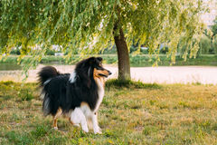 设德蓝群岛牧羊犬, Sheltie,大牧羊犬室外在夏天草在Ev 库存照片