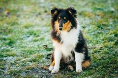 设德蓝群岛牧羊犬, Sheltie,室外大牧羊犬的小狗 免版税库存照片