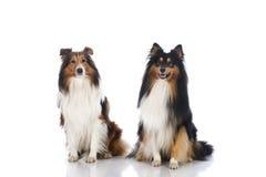 设德蓝群岛牧羊犬 免版税库存照片
