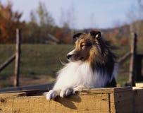 设德蓝群岛牧羊犬 库存照片