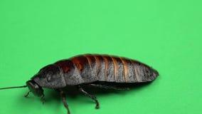 设法一只的蟑螂转动在它的后面和站立在它的爪子 绿色屏幕 关闭 股票视频