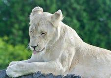 设法一头滑稽的白色的狮子的照片不睡觉 库存图片