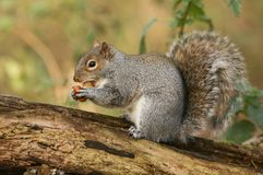 设法一逗人喜爱的灰色灰鼠Scirius的carolinensis的幽默射击运载在它的嘴的两枚坚果一和一在它的爪子sitti 库存图片