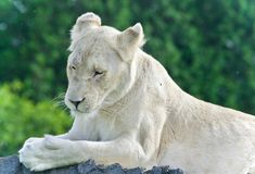 设法一头滑稽的白色的狮子的图象不睡觉 图库摄影
