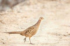 设法女性的野鸡穿过乡下公路 免版税库存图片