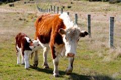 设法幼小的小牛得到早晨早餐 免版税库存图片
