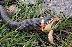 设法幼小的蛇吞下青蛙,当寻找时 图库摄影