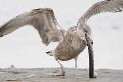 设法未成熟的鲱鸥吞下清除的被察觉的Snak 库存照片
