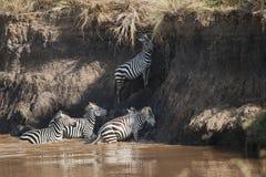 设法的斑马穿过玛拉河在肯尼亚 库存照片