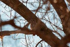 设法的条纹猫头鹰掩藏 免版税图库摄影