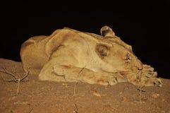 设法的雌狮得到休息 免版税图库摄影
