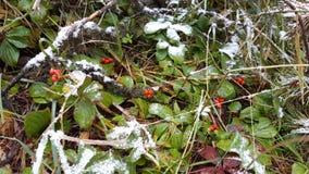 设法红色的莓果逃过冬天 免版税库存照片