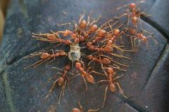 设法蚂蚁的队伍移动一只死的昆虫 免版税图库摄影
