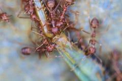 设法蚂蚁的队伍移动一只死的蚂蚱 免版税库存图片