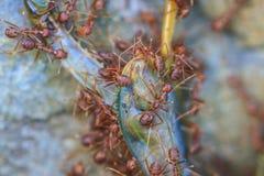 设法蚂蚁的队伍移动一只死的蚂蚱 免版税图库摄影