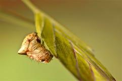 设法谷仓的蜘蛛在草掩藏 库存图片
