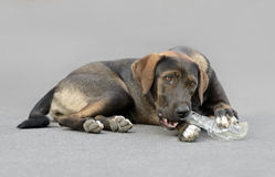 设法滑稽的狗打开瓶 免版税库存图片
