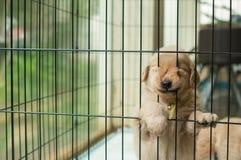 设法滑稽的金毛猎犬的小狗逃脱 免版税库存照片
