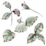 设置与分支、玫瑰的叶子和芽 背景查出的白色 免版税库存照片