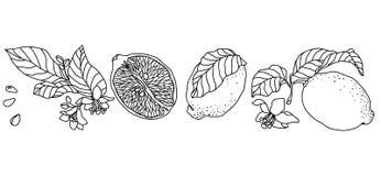 设置与柠檬植物 与花和果子的垂直的分支 皇族释放例证