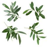 设置与绿橄榄枝杈和叶子 免版税库存图片