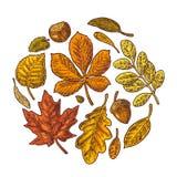 设置叶子和橡子 传染媒介葡萄酒五颜六色的被刻记的例证 库存例证