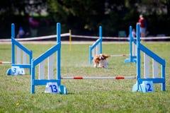 设置在狗敏捷性体育竞赛的障碍 免版税库存照片