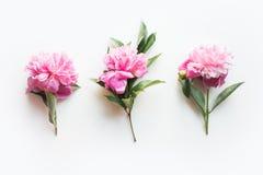 设置在白色的桃红色牡丹花 创造性的最小的平的位置 r r 免版税图库摄影
