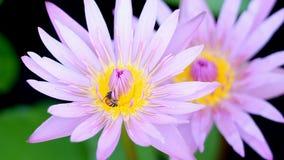 设置汇集蒙太奇、宏指令接近的蜂和莲花 影视素材