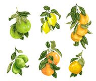 设置用在传染媒介的果子例如石灰、柠檬、桔子、柚和葡萄柚在图表例证 向量例证