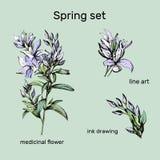 设置等高传染媒介花 药用植物Veronica墨水画的福摩萨 等高Clipart用于设计 皇族释放例证